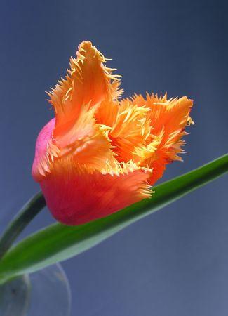 sort: Sort tulip Stock Photo