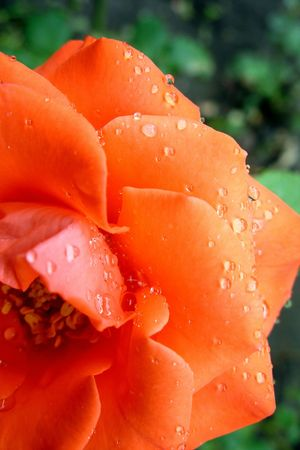 Morning dew on petals of  rose photo