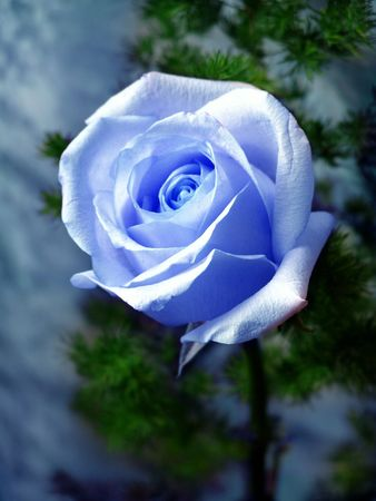 Blue lonely rose photo