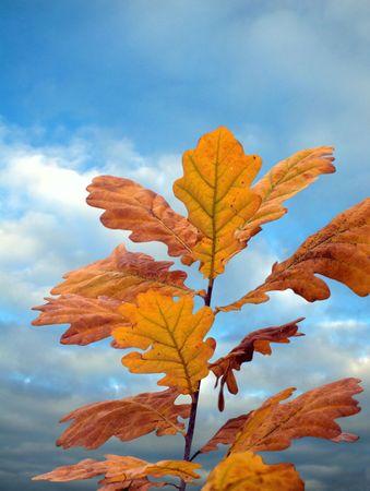 Oak leafs on background sky. photo