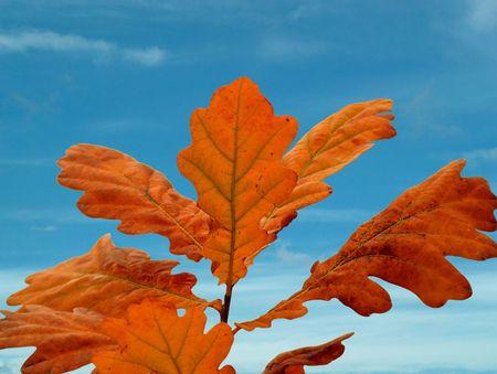 Oak leafs on blue sky. photo