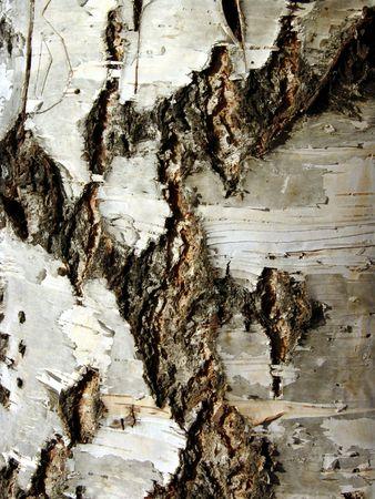 broadleaved tree: Birch bark 1 Stock Photo