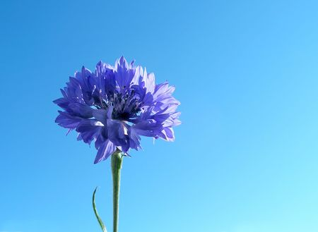 Cornflower and sky Stock Photo - 496346