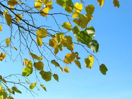 Autumn  leafs on background blue sky Stock Photo