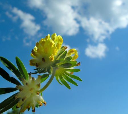Yellow flower of clover on background blue sky photo