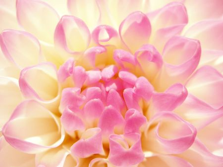Fine rosy flower. Dahlia of grade andamp,quot, Evelineandamp,quot, close-up Stock Photo - 552666