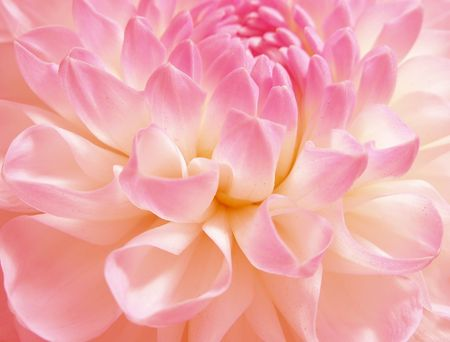 andamp: Dahlia of grade andamp,quot, Evelineandamp,quot, close-up