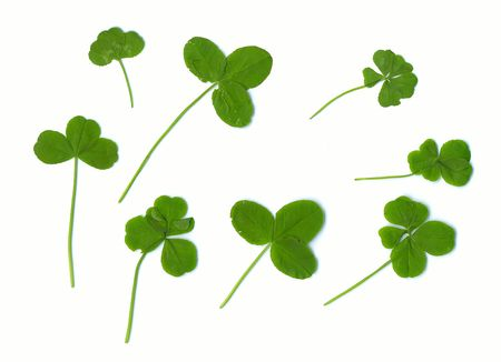 Three, four and  five clover leaves - for success (natural) Stock Photo - 557832