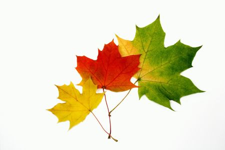 Autumn trio maple leaves Stock Photo - 557823
