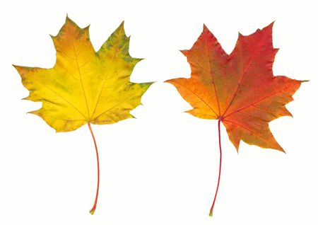 Two autumn maple leaves isolated on white photo