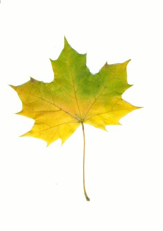 Autumn yellow maple leaf isolated on white photo