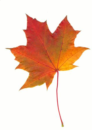 Autumn red maple leaf isolated on white photo