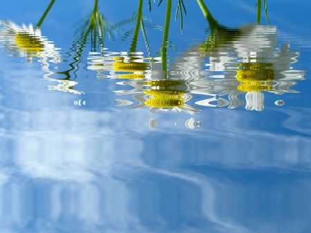 Camomile (ox-eye daisy) reflected in water photo