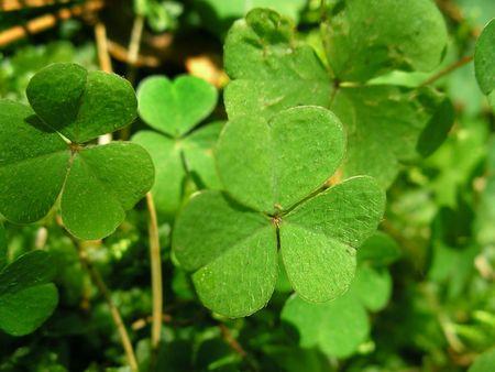 trefoil: Green leafs of clover (  trefoil ).
