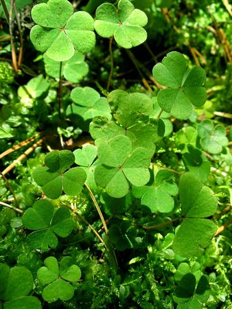 captivating: Green leafs of clover (  trefoil ).