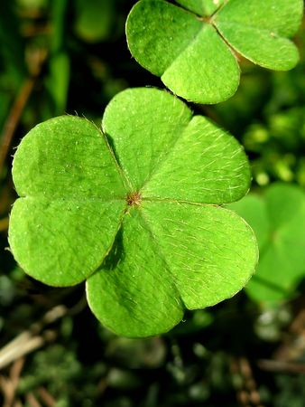 pleasing: Green leafs of clover (  trefoil ).