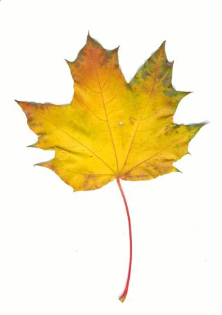 Autumn maple leaf photo