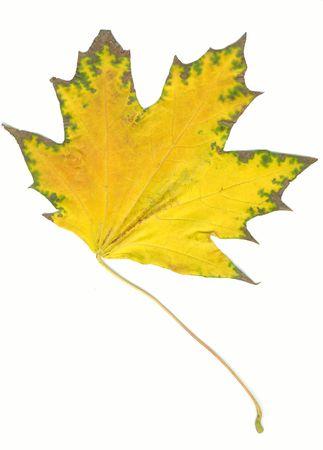 Autumn maple leaf photo