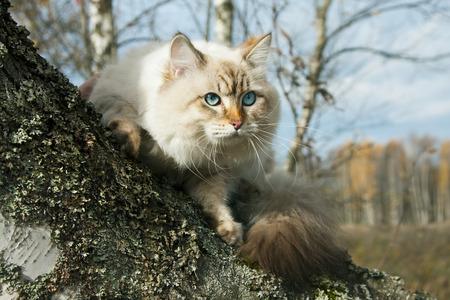 nevsky: Siberian nevsky mask cat in a autumn forest