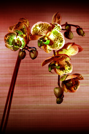 Beautiful flower Orchid, the phalaenopsis close up photo