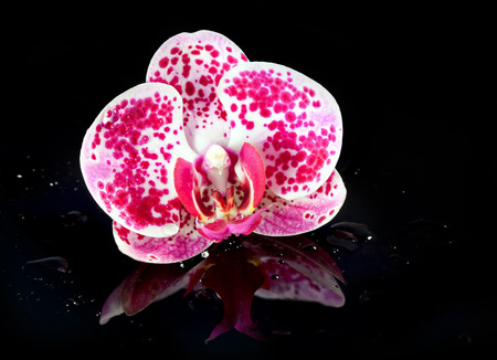 Blossoming beautiful  flower pink Orchid close-up on water backround photo