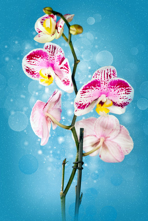 Beautiful flower Orchid, the phalaenopsis on blue background photo