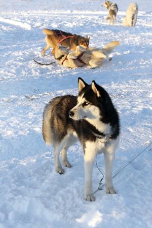 Dogs siberian husky on snow, winter nature  photo