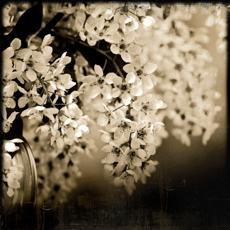 Spring blossoming bird cherry tree on a blue bckground, sepia old photo photo
