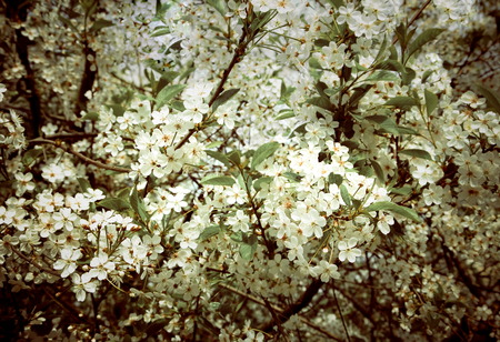 Flower  of spring cherry tree, photo in vintage style photo