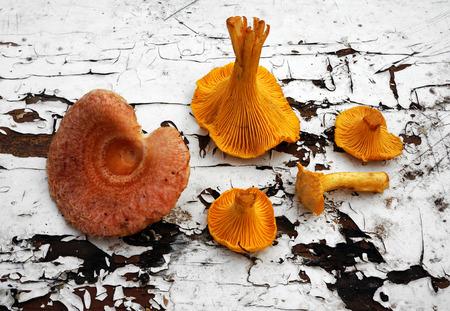 torminosus: Mushrooms Chanterelle  and Lactarius torminosus Stock Photo
