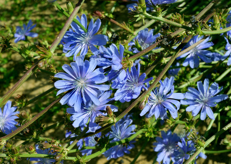 chicory flower: Blossoming wild flowers chicory in a summer season Stock Photo