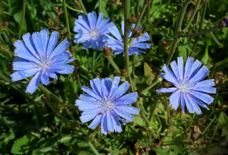 pharmaceutic: Blossoming wild flowers chicory in a summer season Stock Photo