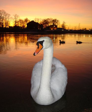One swan and two ducks on a background of a sunset Stock Photo
