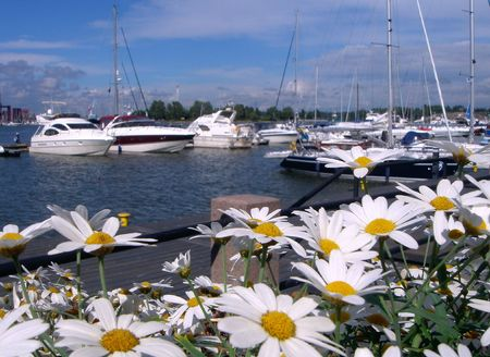 Camomiles on a background of yachts. Stock Photo