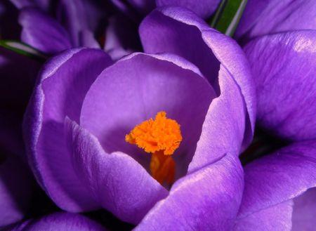 Azafr�n. Flor lilac. Foto de archivo