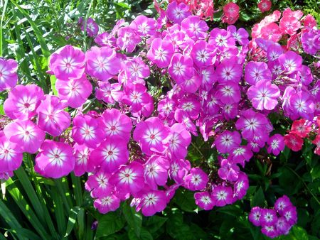 Flores. Phlox
