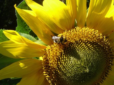 Bumblebee on a sunflower Stock Photo - 349315