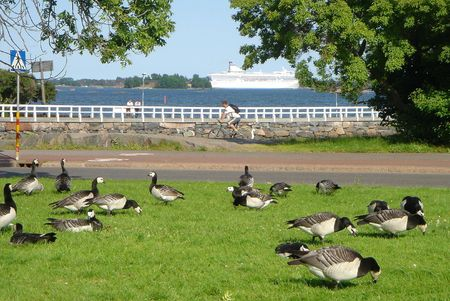 Wild geese are grazed in park of city Helsinki Stock Photo - 349307