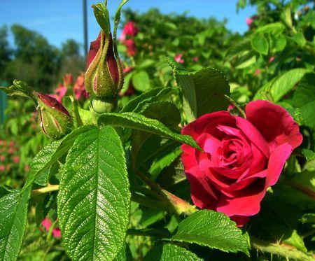 Flores. Dogrose