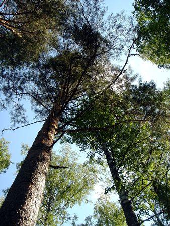 Los pinos crecen en el cielo