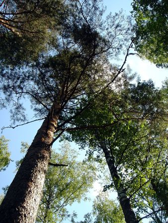 Pines grow in the sky Stock Photo