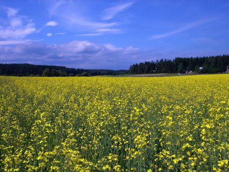 Rural landscape - glade of yellow flowers and blue sky Stock Photo - 351617