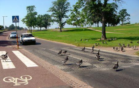 El vuelo de gansos salvajes cruza la calle de la ciudad Helsinki