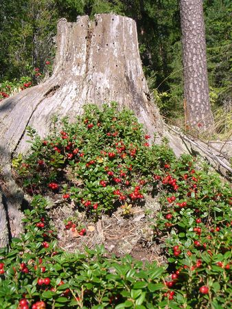 bacca: Forest berries about a stump Stock Photo