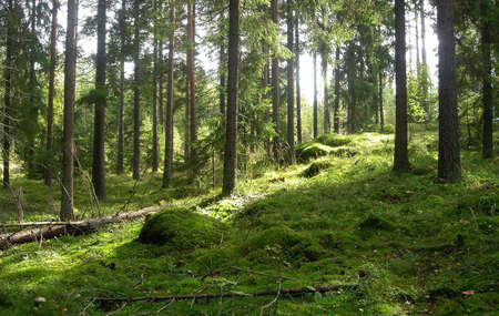 conifer: Forest in the summer Stock Photo