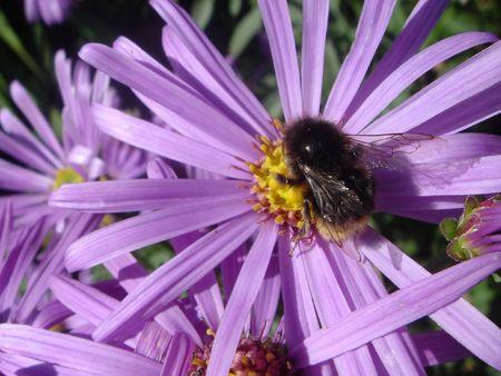 Bumblebee on a purple flower photo