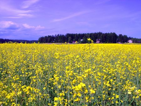 Field of yellow flowers and blue sky                        Stock Photo - 3465901