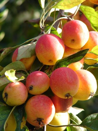 The branch of wild apples is shone on the sun photo