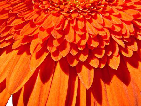 Orange gerber flower close-up background