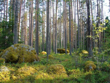 Bosque de pinos silvestres y musgo de piedra en Finlandia Foto de archivo